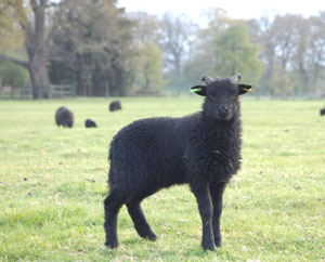 Hebridean Lamb in Parkland