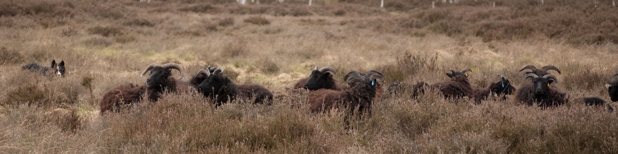 Hebriean Sheep Flock