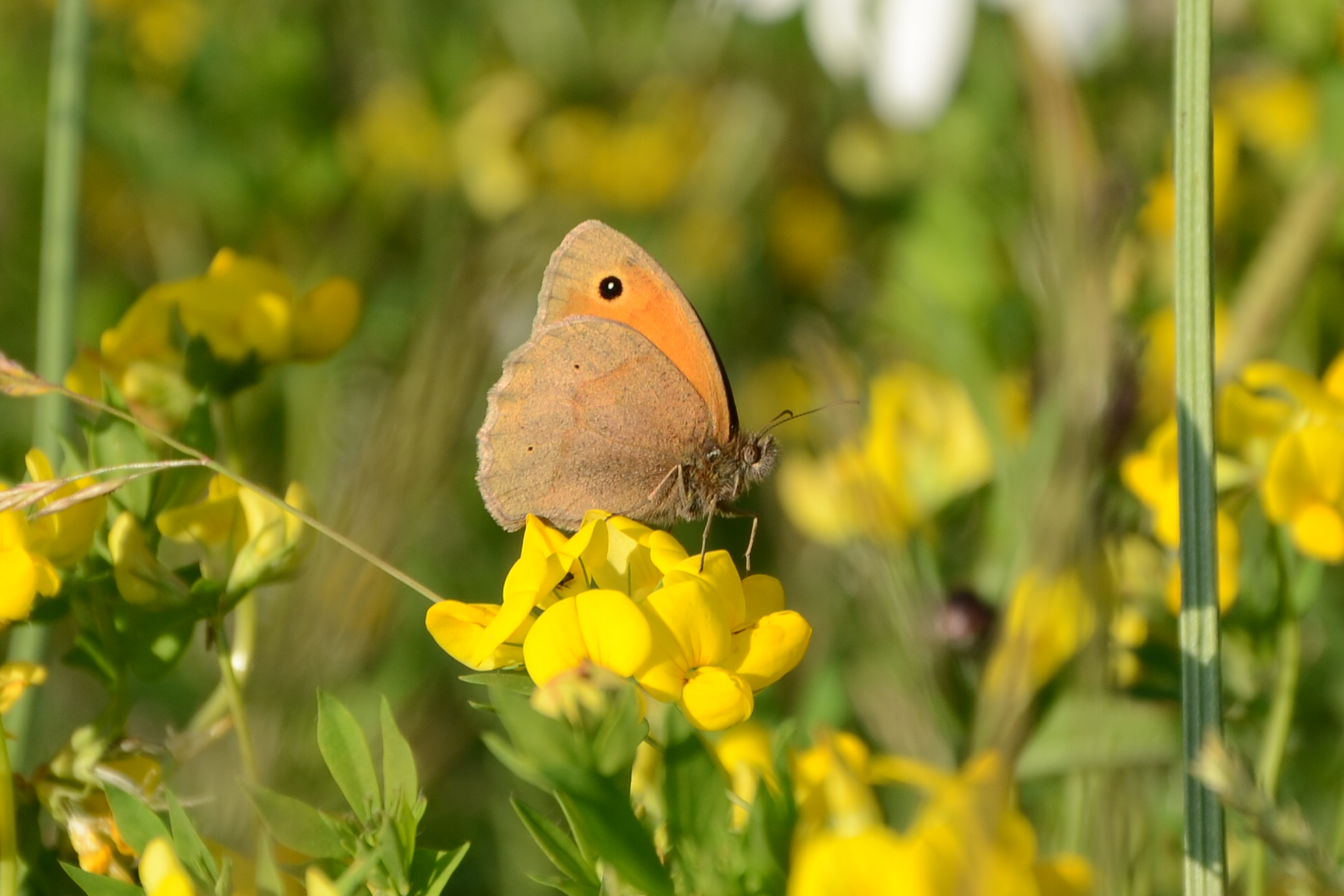 Meadow Brown at Hollicarrs